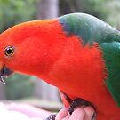 King Parrot... show off. by Kaylene Passmore