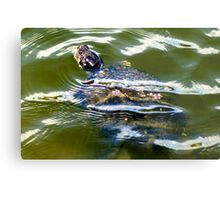 Snapping turtle closeup Metal Print