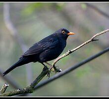 Blackbird at St Andrews by Shaun Whiteman