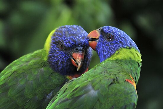 Rainbow Lorikeets II by Tom Newman