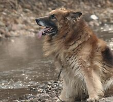 Long Haired German Shephard Male by Franco De Luca Calce