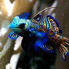 Mandarin Dragonet by Sheila Smith