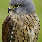 Kestrel by Robert Kendall