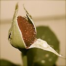 Red Rose Bud by Fern Design