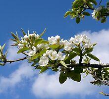 Apple tree flowering by 29Breizh33