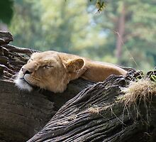 Sleeping lion by NMacle