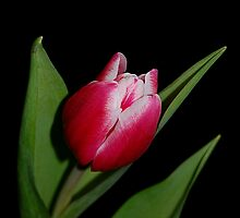 Happy Easter Tulip by Lisa Kent