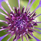 Centaurea montana by RCrabb