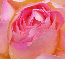 Pink Rose with raindrops by LoneAngel