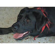 Molly the Labrador  Photographic Print