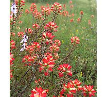Indian Paintbrush  Photographic Print