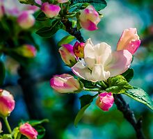 Crabapple flower and buds by luckypixel