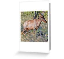 Red Hartebeest - Moremi Game Reserve, Botswana Greeting Card