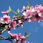 Peach Blossom by danita clark