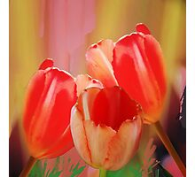 Three colourful tulips on an abstract background Photographic Print