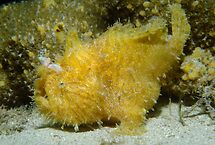 Striped Anglerfish, Ship Rock, Port Hacking by Erik Schlogl