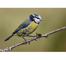Blue Tit  --- Cyanistes Caeruleus Photographic Print