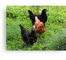 Three Bright Young Pullets Canvas Print