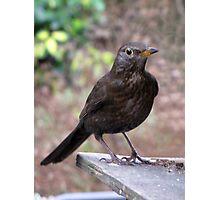 Mrs Blackbird Photographic Print