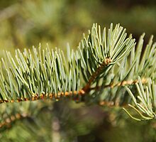 Branch of a California Red Fir by Jared Manninen