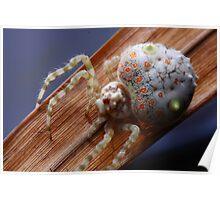 Magnificent (bolas) spider, Ordgarius magnificus  Poster