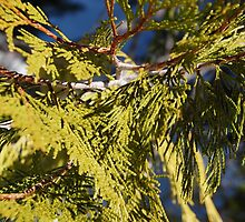 Branch of an Incense Cedar by Jared Manninen