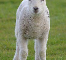 Spring Lamb by RCrabb