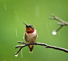 Another Rainy Day Hummingbird by Christina Rollo