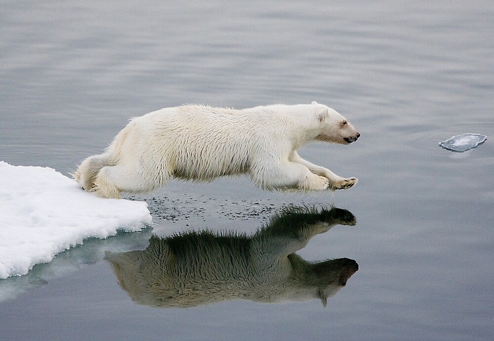 Polar Bear diving (without the bloody nose) by Wolfwalker