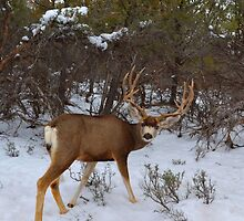 Whitetail Buck  by Leona Bessey