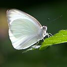 Great Southern White by Lisa G. Putman