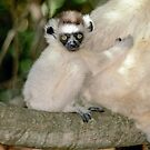 Baby sifaka by Anthony Brewer