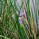 Blue Flag Iris (Iris Versicolor) by Rebecca Bryson