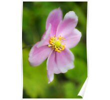 Pretty pink japanese anemone Poster