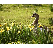 Spring Goose Photographic Print