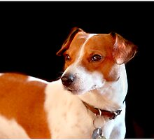 Ben,Jack russel,terrier. by crackerjack