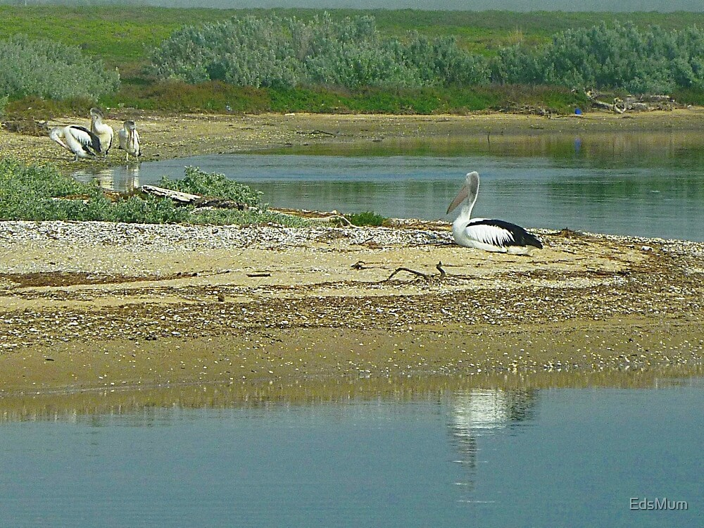 Pelicans at  rest & play - Werribee Sth. Beach, Vic. Australia by EdsMum