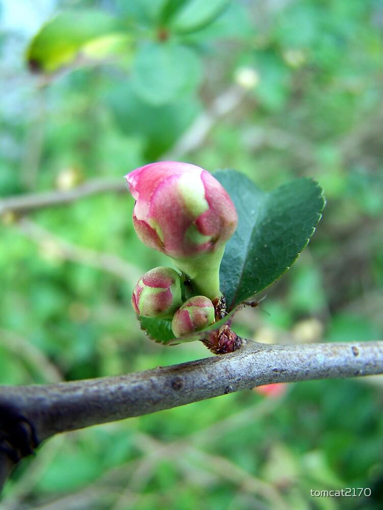 pre-bloom by tomcat2170