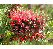 'Kunzea Baxterii,' opening in winter. Native shrub. Photographic Print