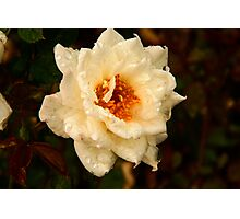 Wet Rose Photographic Print