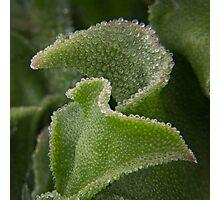 Icicle Ice Plant 1 Photographic Print