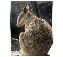Wild Rock Wallaby Poster