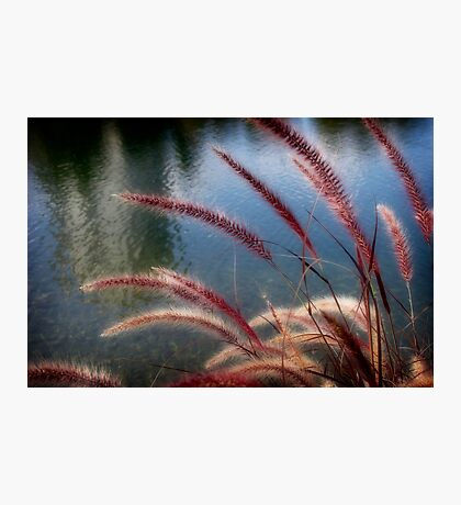 seed heads Photographic Print