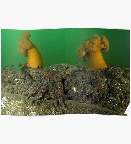 Two Plumose Anemones and a Sunflower Seastar Poster