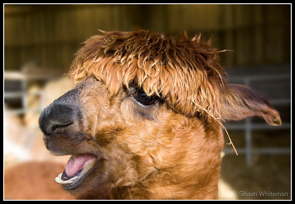 Alpaca at the wild board park near Chipping by Shaun Whiteman