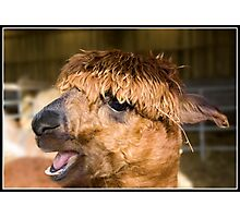 Alpaca at the wild board park near Chipping Photographic Print