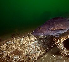 A Ling Cod Cruising Along an Artificial Reef by Greg Amptman