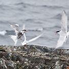 Tern fury by David Burren