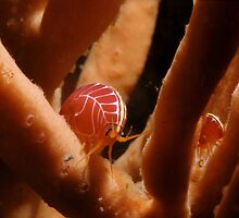 Sea Flea, Henry Head, Botany Bay by Erik Schlogl