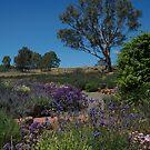 ~Lyndoch, Barossa Valley~ by Debra LINKEVICS